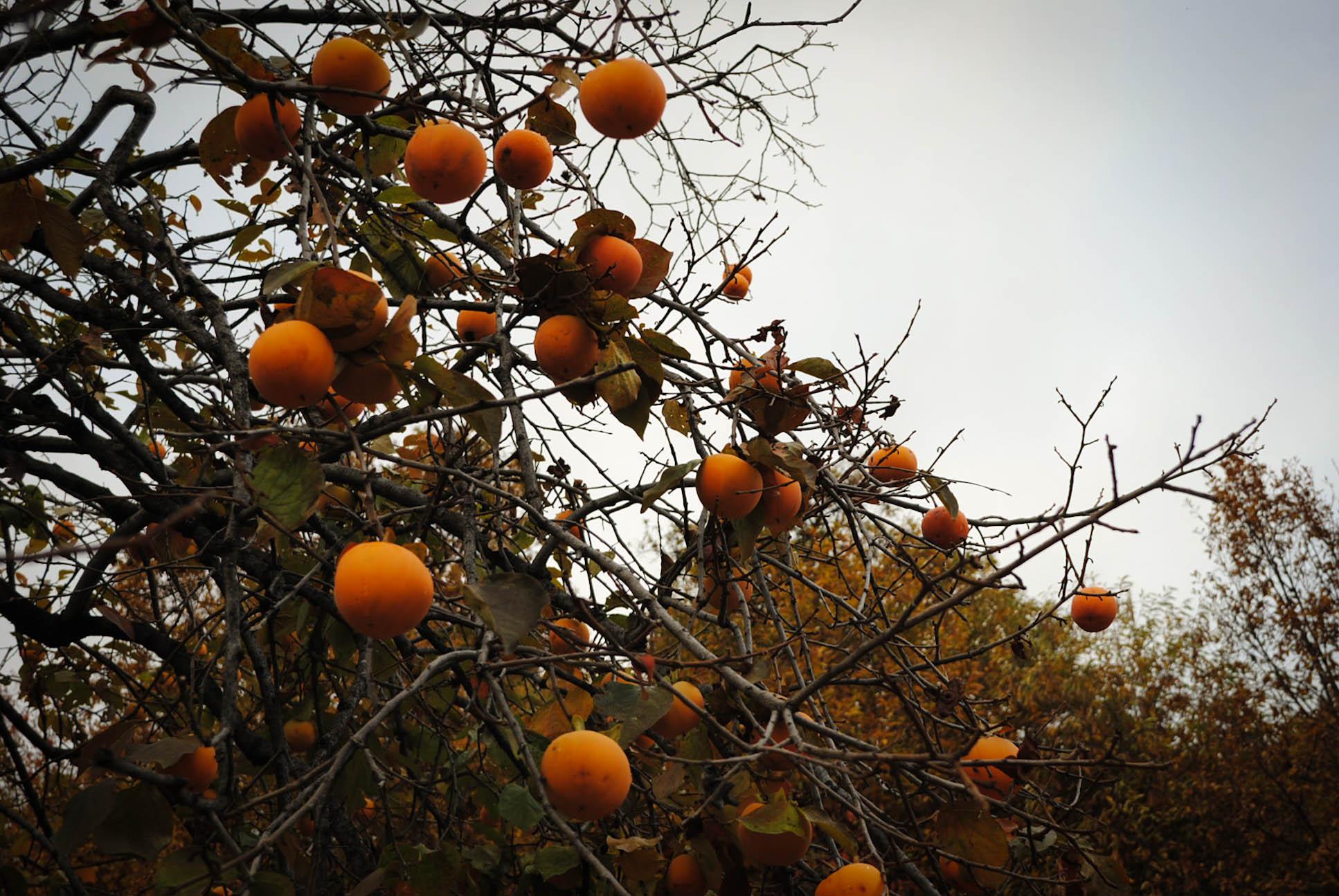 Albero di cachi in autunnoabattoir abattoir for Albero di cachi